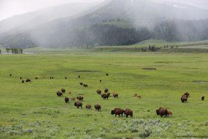 Yellowstone Nasjonalpark bison Cwoboyreiser